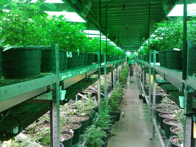 cannabis consulting marijuana cultivation